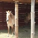 Лошади Пржевальского в Старом Осколе