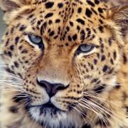 Фото: amurleopards.net