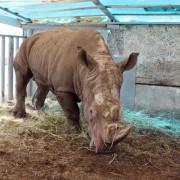 """В Старооскольском зоопарке до самой осени будет жить носорог Арчи Фото: СИ """"БелПРесса"""""""